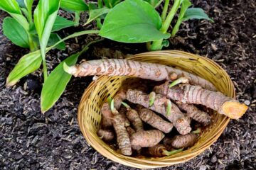 How to Grow one of the Healthiest Spices, Turmeric, in Pots at Home