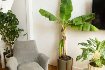 One of the Healthiest Fruits ever: How to Grow Banana Trees in Pots