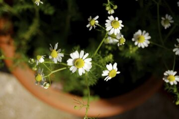 Healing & Aromatic: How to easily Grow Chamomile in Pots at Home