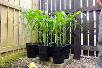 How to Plant & Grow Corn in Containers at Home