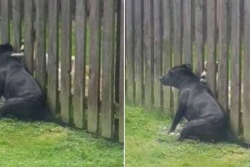 This Cute Dog Visits the Fence Everyday for a Massage from His Neighbour Doggo