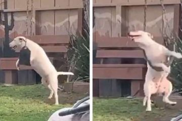 The Joys of Life: Dog Caught on Camera Playing on the Backyard Swing Is the Happiest Moment ever
