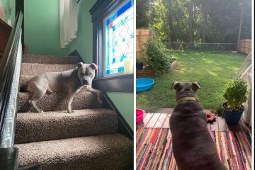 Lovely Rescue Pittie Gets so Excited to Have Her Own Yard for the First Time
