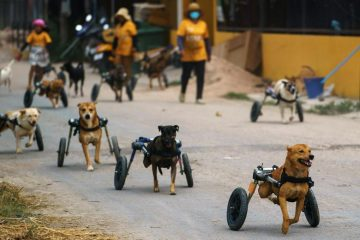 Thai Animal Shelter Helps Disabled Dogs to Have Better Lives