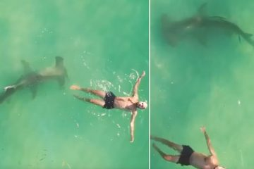 Heart-Stopping Moment: 10 Feet Hammerhead Shark Stalking a Swimmer in Miami