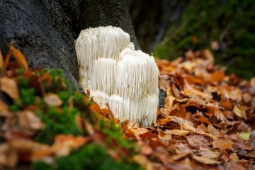 Lion's Mane Mushroom: the Nutritional Powerhouse with Brain-Boosting & Cancer-Fighting Properties