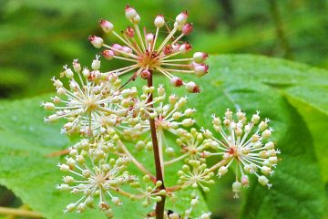 Spikenard Essential Oil Is an Awesome Natural Way to Alleviate Stress & Insomnia