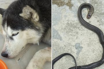 A Brave, Rescue Husky Dies Protecting His Hoomans from a Deadly Cobra