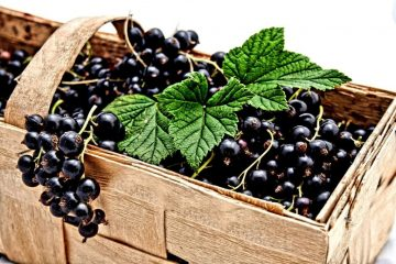 New Study Found Blackcurrants to Have Potent Effect on Reducing the Blood Sugar