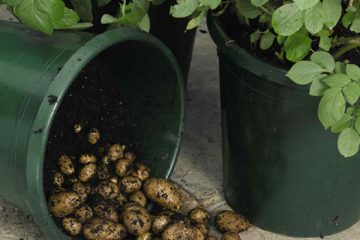 How to Grow Endless Supply of Yummy Potatoes in Containers