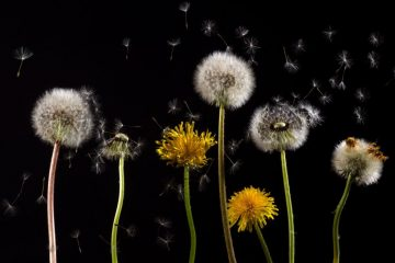Rubber from Dandelions Is Making Tires Sustainable: a Wonderful Plant