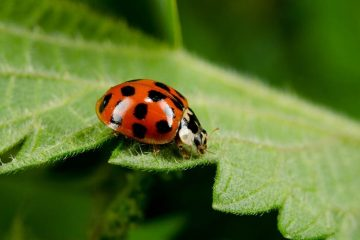 These Ladybug Impostors are not here to Bring Good Luck, they're here to Bite