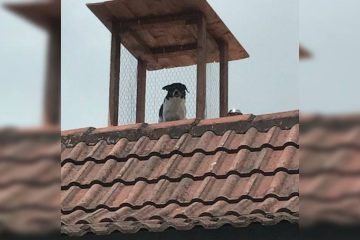 Dad Builds a Rooftop Lookout Post for His Dog to Keep an Eye on Everyone