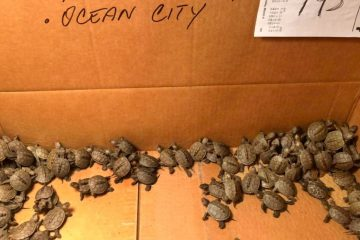 Folks in New Jersey Are Caring for more than 800 Baby Turtles Rescued from Storm