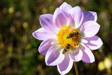 A New Lifesaving Bee 'Vaccine' that Makes them Immune to Pesticides' Side Effects