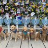 Comfort Dogs from Several States Gather to Lend a Paw of Comfort to Miami Condo Rescuers