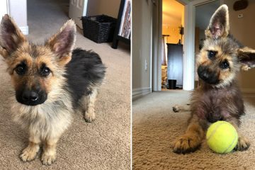 Meet Ranger: Tiny German Shepherd with Dwarfism that Makes Him Look like a Puppy Forever