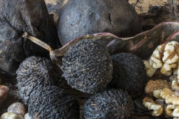 Black Walnuts Help in the Fight against Fungi, Parasites, and Heart Illness