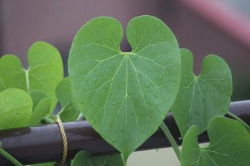 Meet Giloy: Ayurvedic Herb which Relieves Digestion & Encourages Body Detox